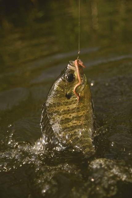 Bluegill Fishing Tips
