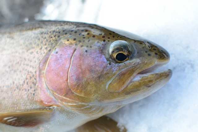 Rainbow Trout Fishing Tips