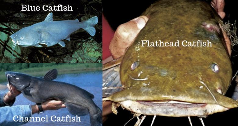 Catfish Species