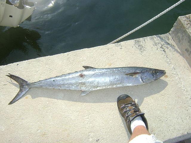 King Mackerel Caught