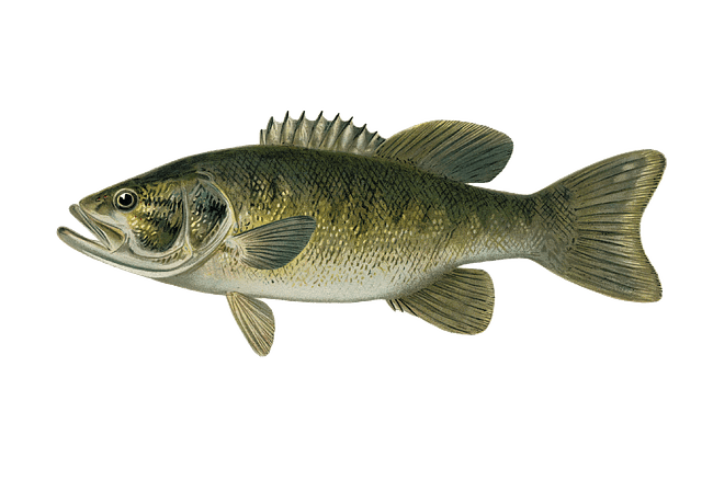 Smallmouth Bass Identification